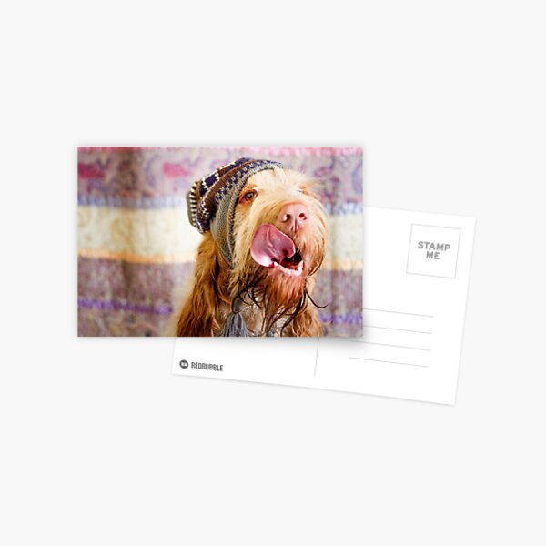 Orange and White Italian Spinone Dog Head Shot with Hat Postcard