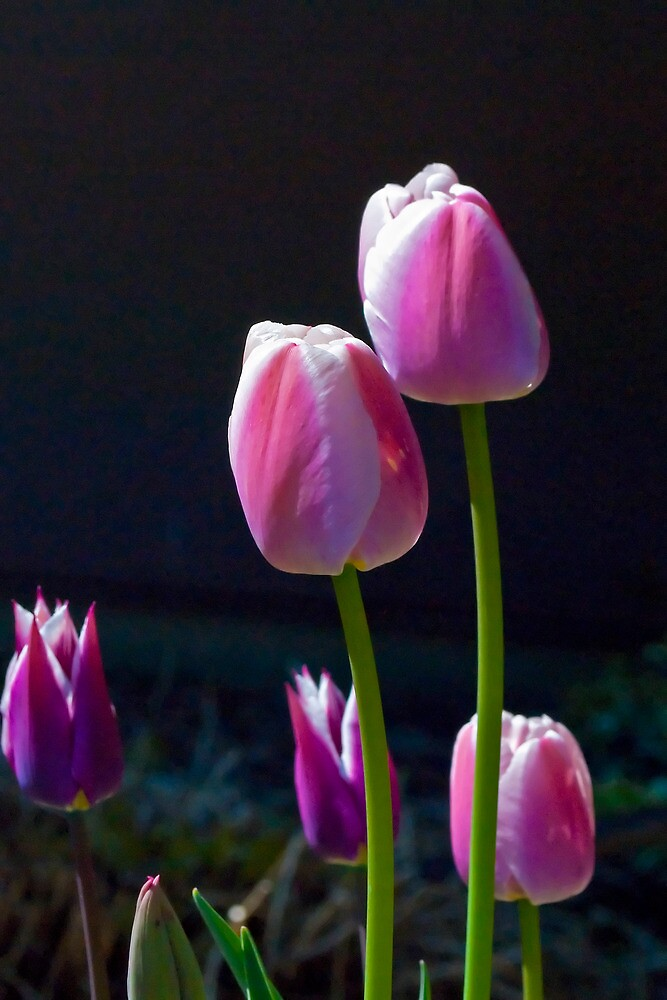 Pink Tulips on Black by ArianaMurphy