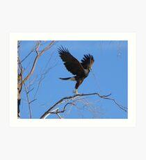 Harris's hawk ~ Success! Art Print