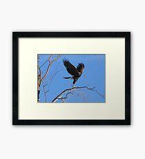 Harris's hawk ~ Success! Framed Print