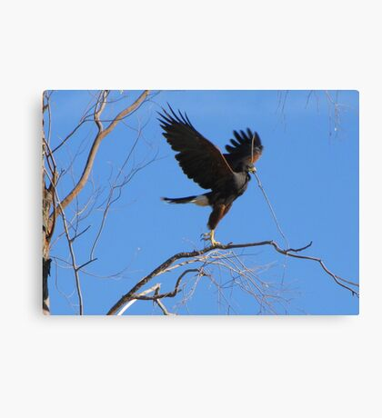 Harris's hawk ~ Success! Canvas Print