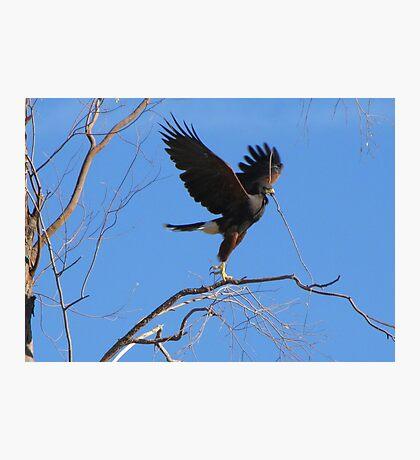 Harris's hawk ~ Success! Photographic Print