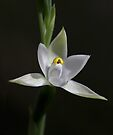 Scented Sun Orchid by LeeoPhotography
