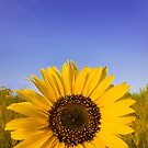 sunflower by psychoshadow