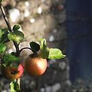 Apples by XtomJames