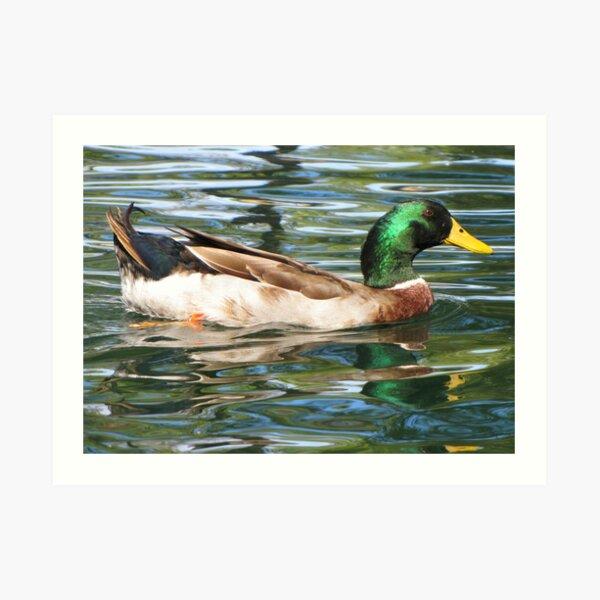 Mallard Duck ~ Drake Art Print