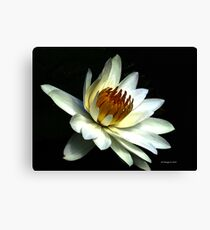 White Water lilly  Canvas Print