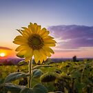 Sunflower against sunset by psychoshadow