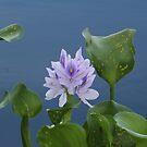 Water Flower by Jim Roche