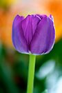 Lavender Tulip by Extraordinary Light