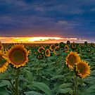 Colorado Sunflowers by Linda Storm