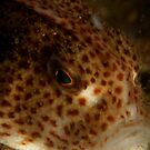 Lil' Kev's spotted handfish by Hugh Pederson