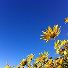 Sunshine Daisies by NinaJoan