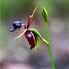 Caleana major (Large Duck-Orchid) by Bev Pascoe