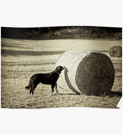 Sniffing the Haystack Poster