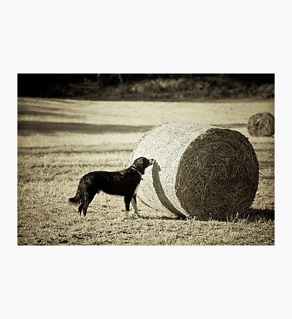 Sniffing the Haystack Photographic Print