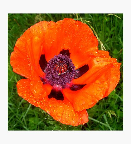 Poppy with morning dew  Photographic Print