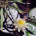 Water lily and shadows by DAdeSimone