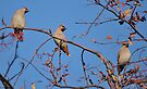 waxwings: they're back by Grandalf