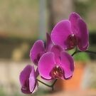 Orchidee by Andrea Rapisarda