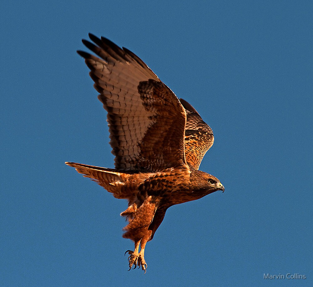 110710 Rufous Morph Red Tailed Hawk by Marvin Collins