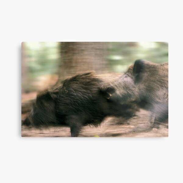 Biting boars Metal Print