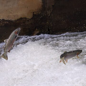 Spring Run Steelhead by JimmyD