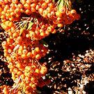 Orange Berries by Shulie1