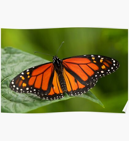 Monarch Butterfly - 11 Poster