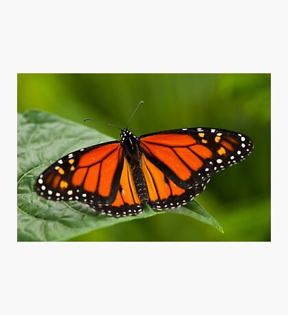 Monarch Butterfly - 11 Photographic Print