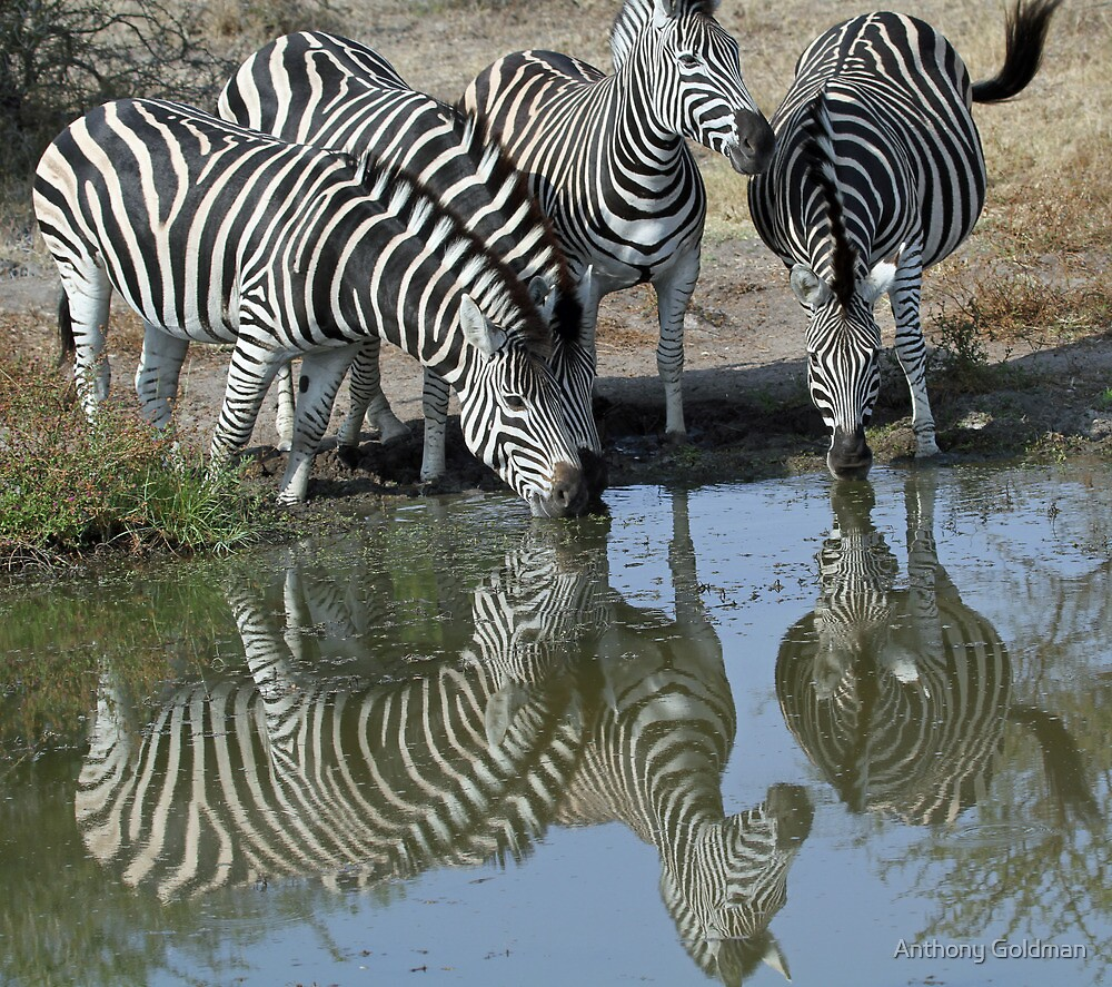 Herd of zebra drinking by Anthony Goldman