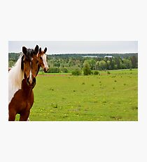 Cow horses greeting new cows. Photographic Print