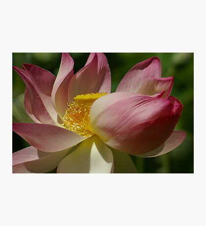 Imperial Lotus Photographic Print