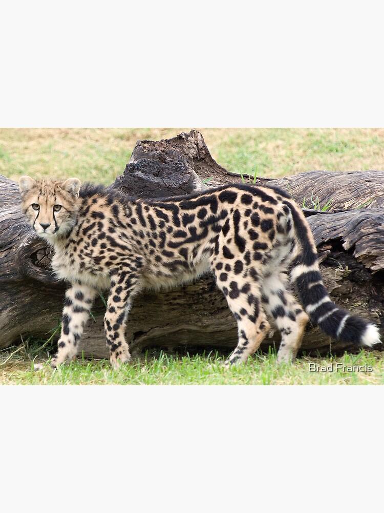 Female - King Cheetah by bfra