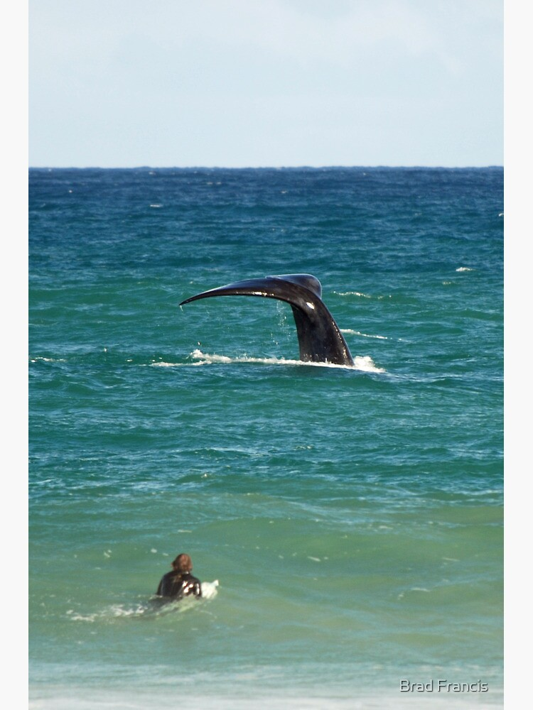 Southern Right Whale by bfra
