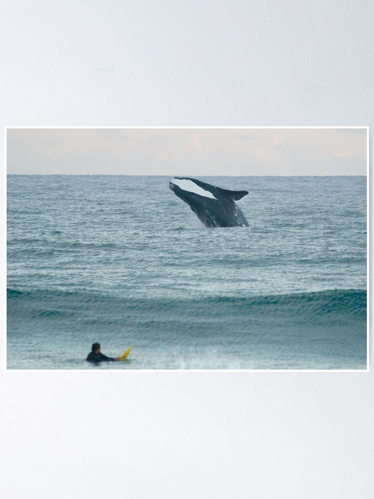 Alternate view of Southern Right Whale Poster