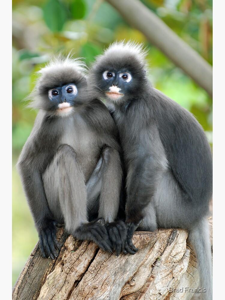 Dusky Leaf Monkeys by bfra