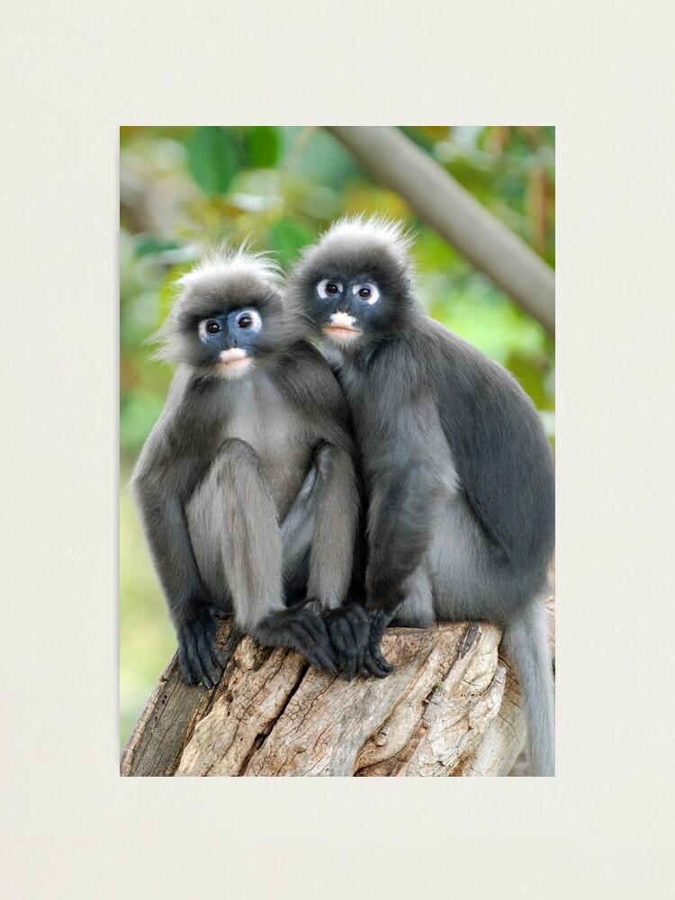 Alternate view of Dusky Leaf Monkeys Photographic Print