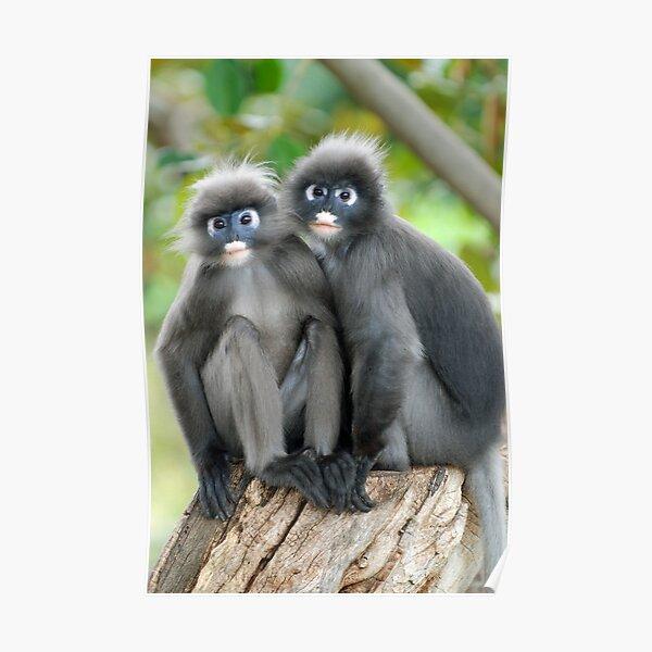 Dusky Leaf Monkeys Poster