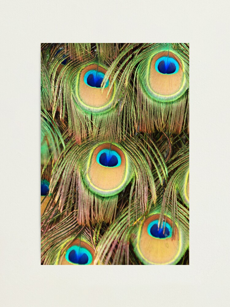Alternate view of Peacock tail Photographic Print