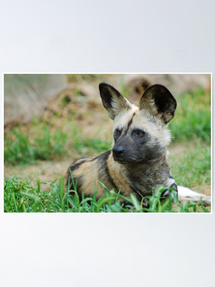 Alternate view of African Wild Dog Poster