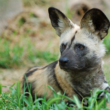 African Wild Dog by bfra