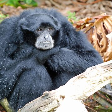 Siamang by bfra