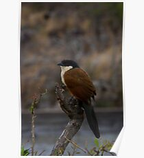 Burchells Coucal Poster