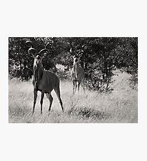 Proud Kudu, Etosha National Park Photographic Print