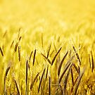 golden wheat by BlaizerB
