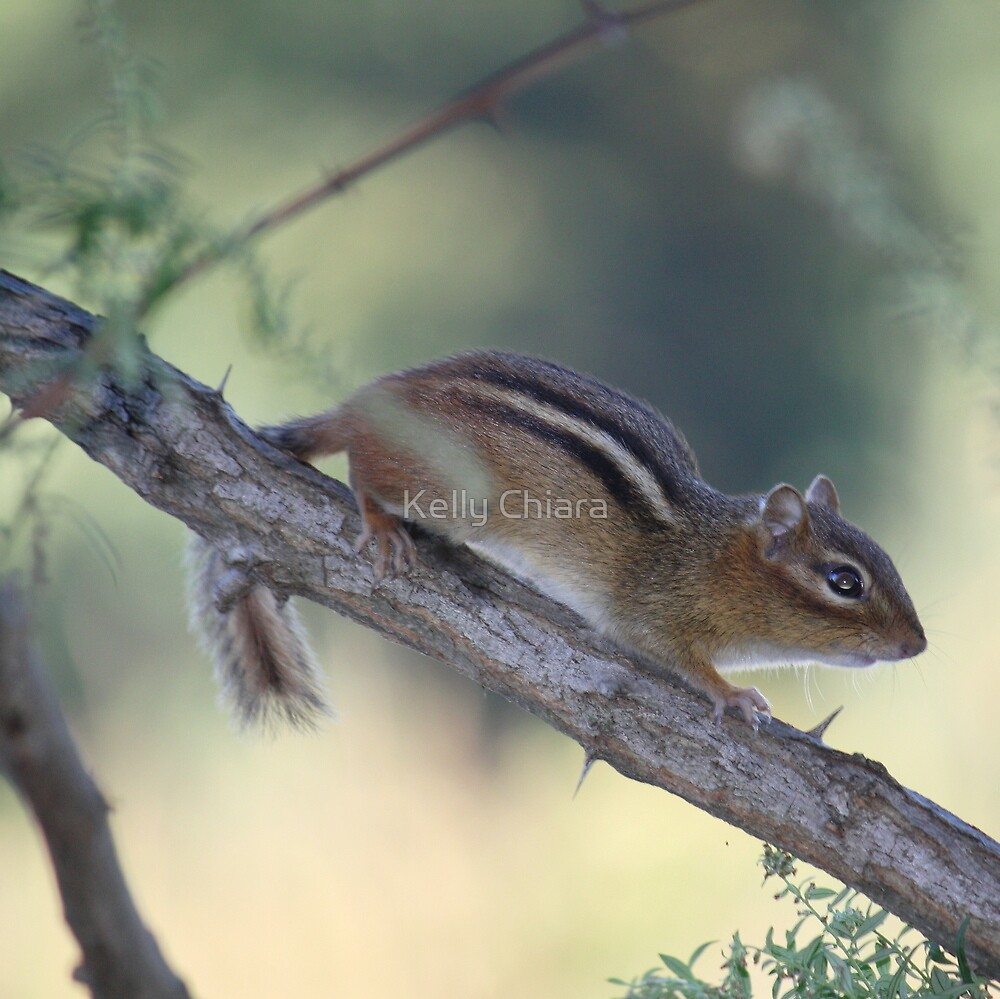 My First Wild Chipmunk? by Kelly Chiara