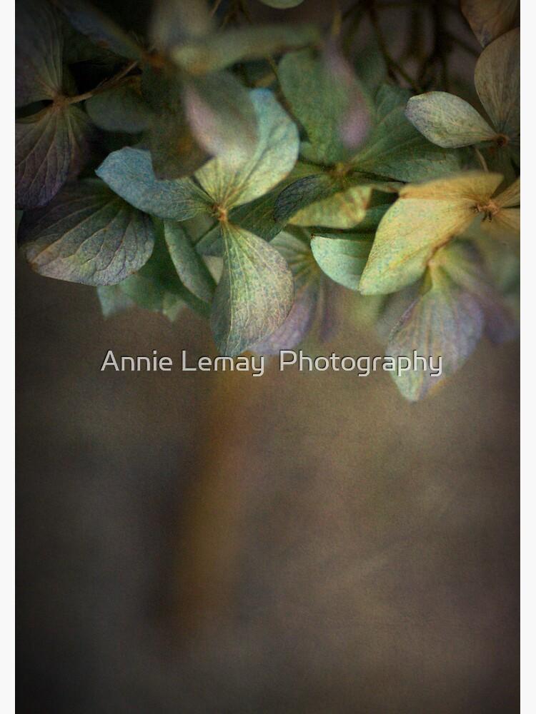 Hydrangea  by ajlphotography