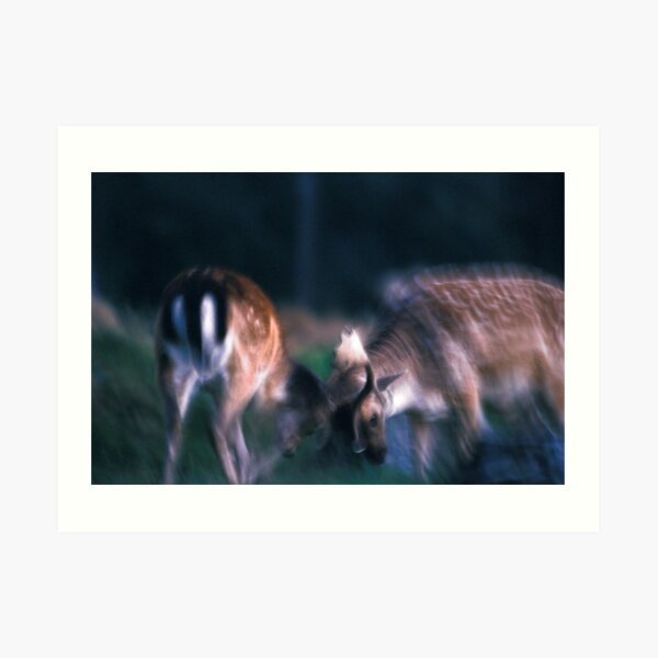 Fighting fallow deer Art Print