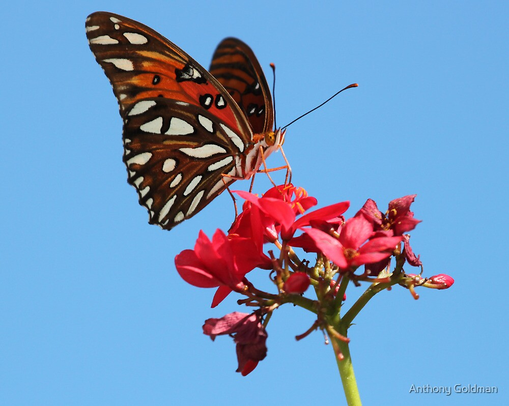 Butterfly at palm island by Anthony Goldman